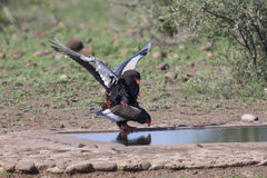 Pair of bateleur at a waterhole busy with mating. Pair of bateleur standing at a waterhole busy with mating royalty free stock photo