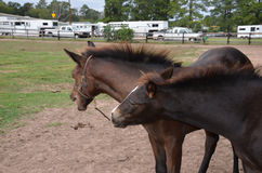 Pair of bay colts. A pair of baby colts playing in a field Royalty Free Stock Photos