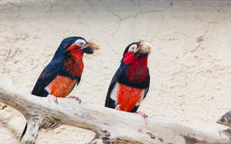 A pair of Bearded Barbet birds Stock Photo