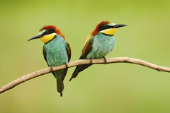 Pair of beautiful birds European Bee-eater, Merops apiaster, sitting on the branch with green background Royalty Free Stock Image