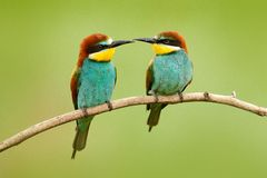 Pair of beautiful birds European Bee-eaters, Merops apiaster, sitting on the branch with green background. Two birds in Romania na. Ture royalty free stock photography