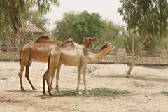 A pair of beautiful camels Stock Images