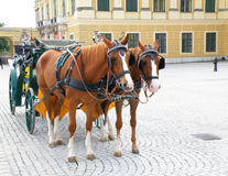 Pair of beautiful carriage driving bright brown horses at Vienna Stock Images