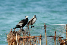 A pair of beautiful cormorants Royalty Free Stock Images