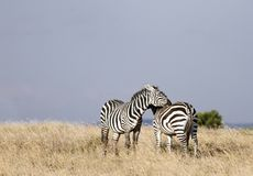 A pair of beautiful courting Zebras Stock Photos