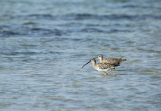 A pair of beautiful Curlew Royalty Free Stock Photo