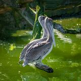 Pair of beautiful dalmatian pelicans sitting on tree trunk at small lagoon, details, closeup stock photo