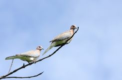 A pair of beautiful doves perched on a branch Royalty Free Stock Photography