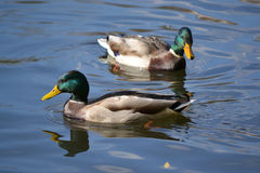 A pair of beautiful ducks Stock Image