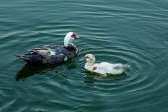A Pair of Ducks Swimming on a Lake stock photos