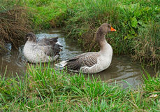 A pair of beautiful geese swimming in a pond stock photos
