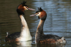 A pair of beautiful Great crested Grebe Podiceps cristatus in the middle of their courtship display.. Stock Photo
