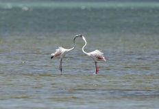 A pair of beautiful great flamingos courtship Royalty Free Stock Image