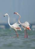A pair of  beautiful Greater Flamingos Stock Photo