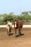 Pair of beautiful horses Royalty Free Stock Images
