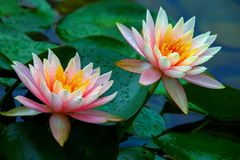 Pair of beautiful pink water lilies covered in dew drops after heavy rain. Delicate and beautiful pair of pink water lilies covered in dew drops in the rain stock photos