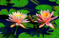 Pair of beautiful pink water lilies Royalty Free Stock Images