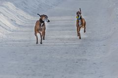 The pair of beautiful red Italian Greyhound dogs with a ball in brown leather collars is on a snowy road in winter royalty free stock image