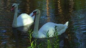 A pair of beautiful white swans birds floating on the lake. Swans eat seaweed from the bottom of the pond. A small spring lake i stock video footage