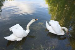 A pair of beautiful white swans on a pond. Birds forest lake glassy surface Swan fidelity song male and female Royalty Free Stock Images