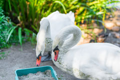 Pair of beautiful white swans on the shore Royalty Free Stock Photos