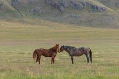 Pair of Beautiful Wild Horses in Summer in Utah Royalty Free Stock Photos