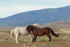 Pair of Beautiful Wild Horses in Utah Stock Photo