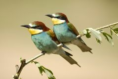 Pair of bee-eaters Royalty Free Stock Image