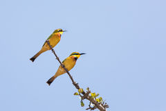 Pair of bee eaters in the Masai Mara Stock Images