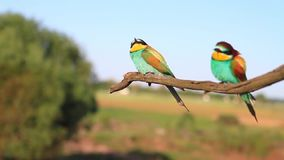Pair of bee-eaters sitting on a dry branch. Wildlife, unique frames stock video