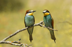 Pair of bee-eaters Royalty Free Stock Images