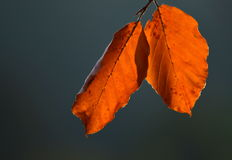 A pair of beech leaves Royalty Free Stock Image