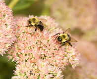 Pair of Bees Stock Photos