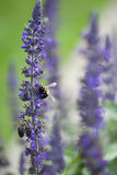 Pair of Bees. Bees hovering over purple flower Royalty Free Stock Images
