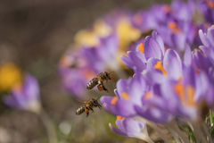 Pair of bees to a flower violet crocus Stock Photo