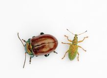 Pair of beetles Stock Photo
