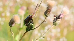 A pair of beetles Green Rose Chafer /Cetonia auerata/ communicate with each other on a stem of Creeping Thistle.  stock video