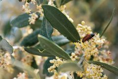 Pair of beetles on ligustrum flowers on a clear day stock photos