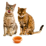 Pair of bengal cats one licking lips Royalty Free Stock Photography