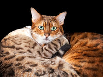 Pair of bengal kittens in cuddle Royalty Free Stock Photo