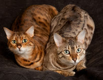 Pair of Bengal Kittens on seat. Lovely pair of bengal cats staring straight at the camera from their seat royalty free stock images