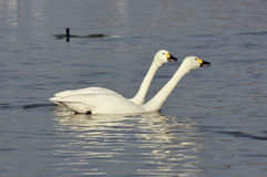 Bewick's Swans Royalty Free Stock Photo