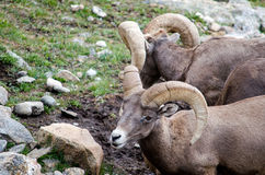 Pair of Big Horn Sheep Stock Images