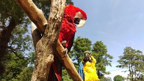 Pair of big parrot Macaw, Ara. Chloroptera, two birds sitting on the branch royalty free stock photos