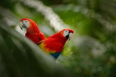 Pair of big parrot Scarlet Macaw, Ara macao, two birds sitting on branch, Brazil. Wildlife love scene from tropic forest nature. T Stock Photos