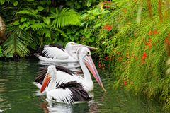 Pair of big pelicans Royalty Free Stock Photography