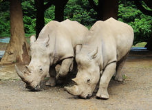 Pair of big rhinoceros. A pair of big rhinoceros Royalty Free Stock Photo