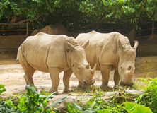A pair of big rhinoceros. Pair of big rhinoceros in zoo Royalty Free Stock Photography