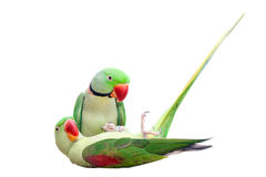 Pair of big ringed alexandrine parakeet on white Royalty Free Stock Photos