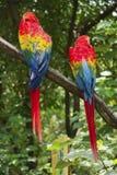 Pair of big Scarlet Macaws stock image